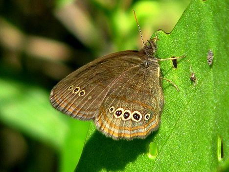 photo mitchells satyr butterfly michigan