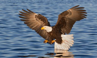 Bald Eagle Flying close to water