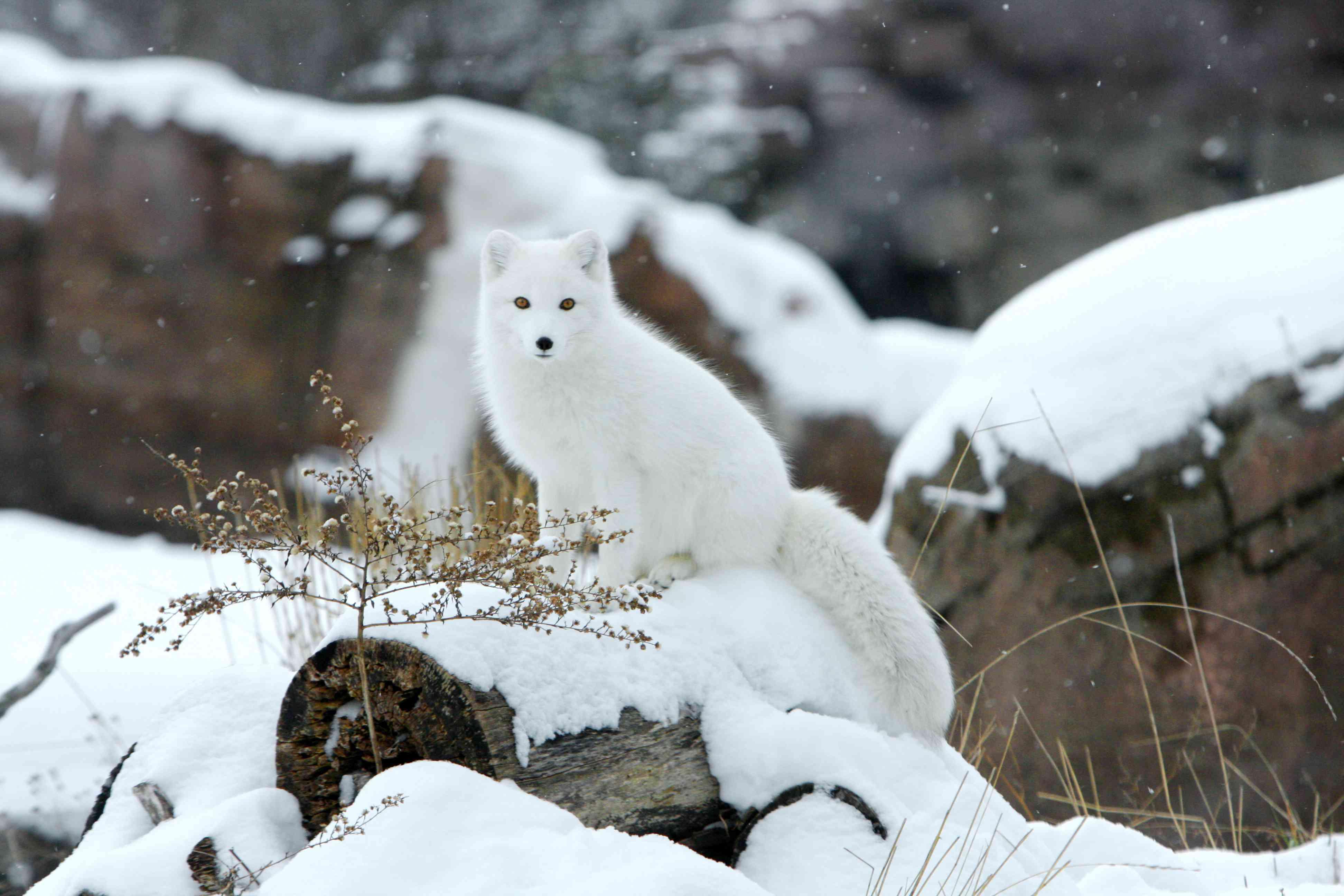 Arctic fox in the snow