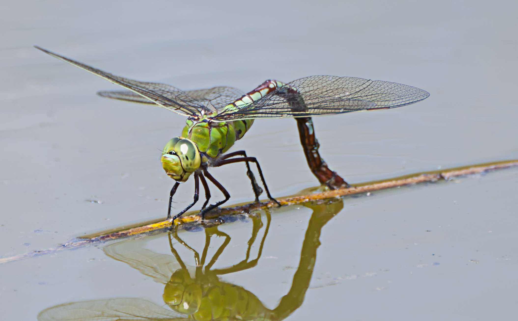 Dragonflies can lay eggs in water that is even saltier than the ocean.