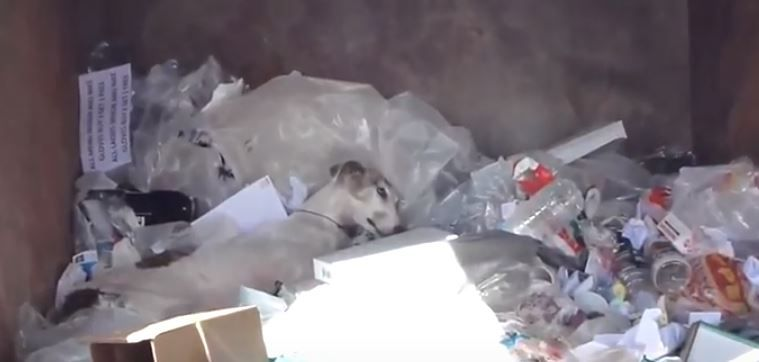 A galgo lays in a heap of trash.