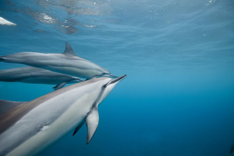 Spinner dolphins swimming in the water