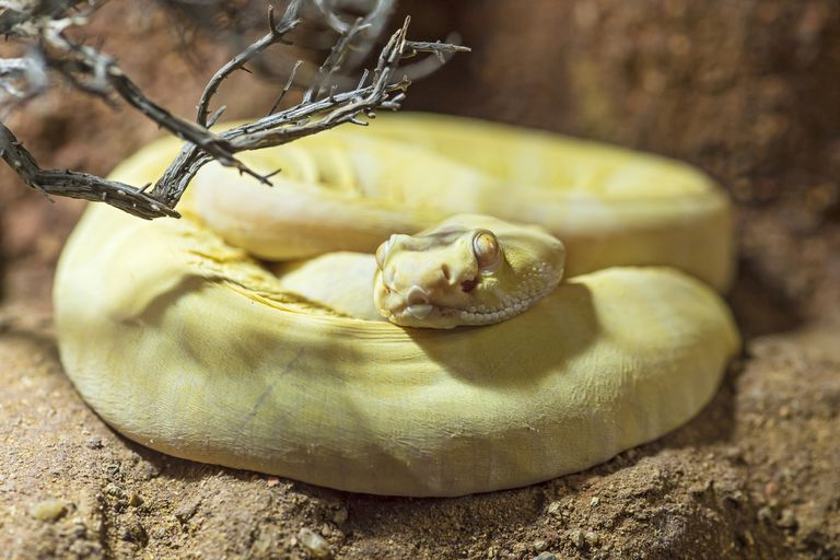scaleless yellow rattlesnake coils up on sandy ground near dry branch