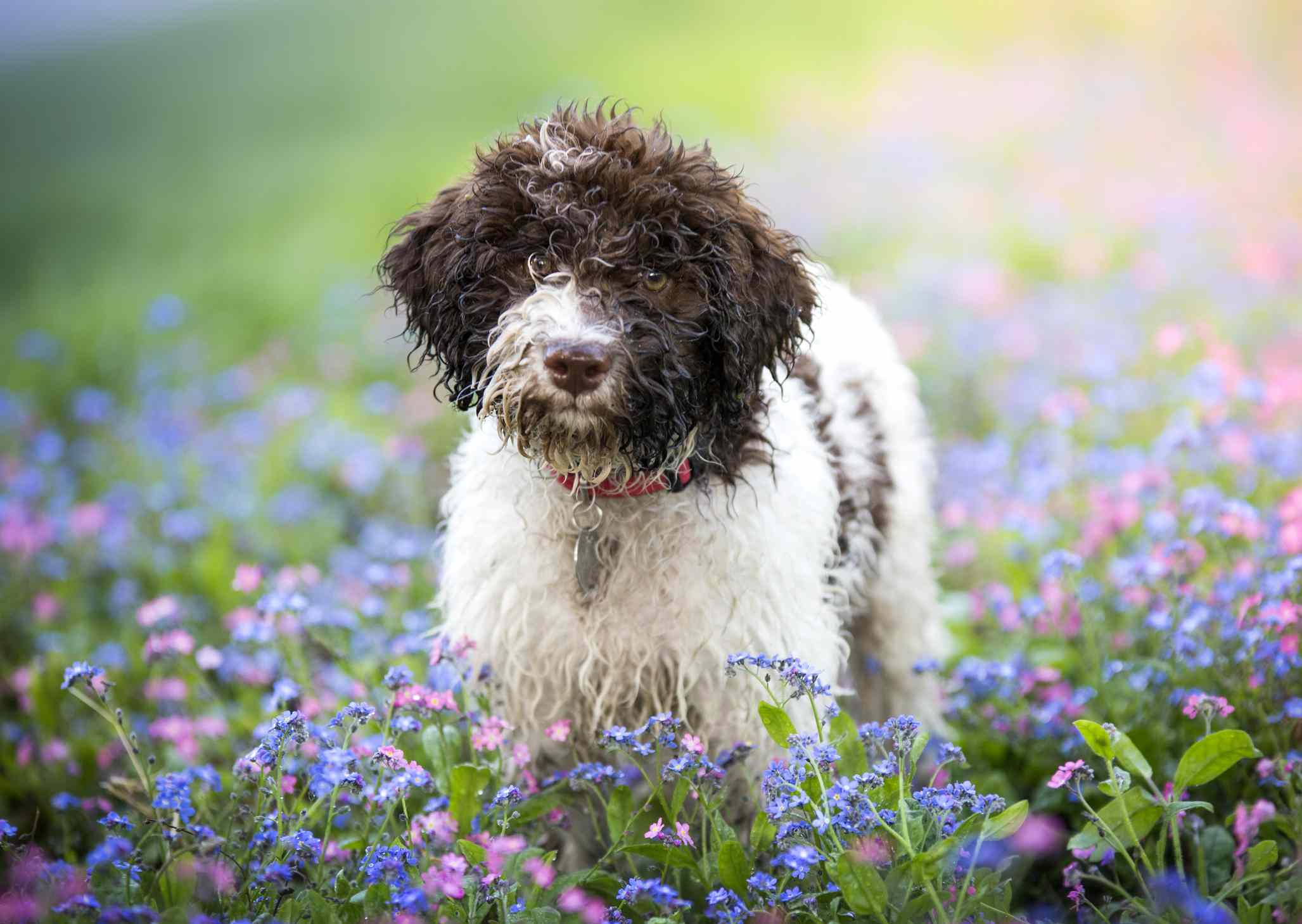 Lagotto Romagnolo dog in a flower field.