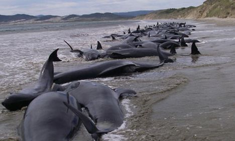 stranded whales nz photo