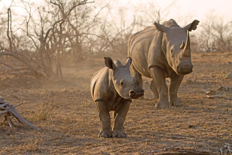 Rhinoceros adult with young in Kruger National Park
