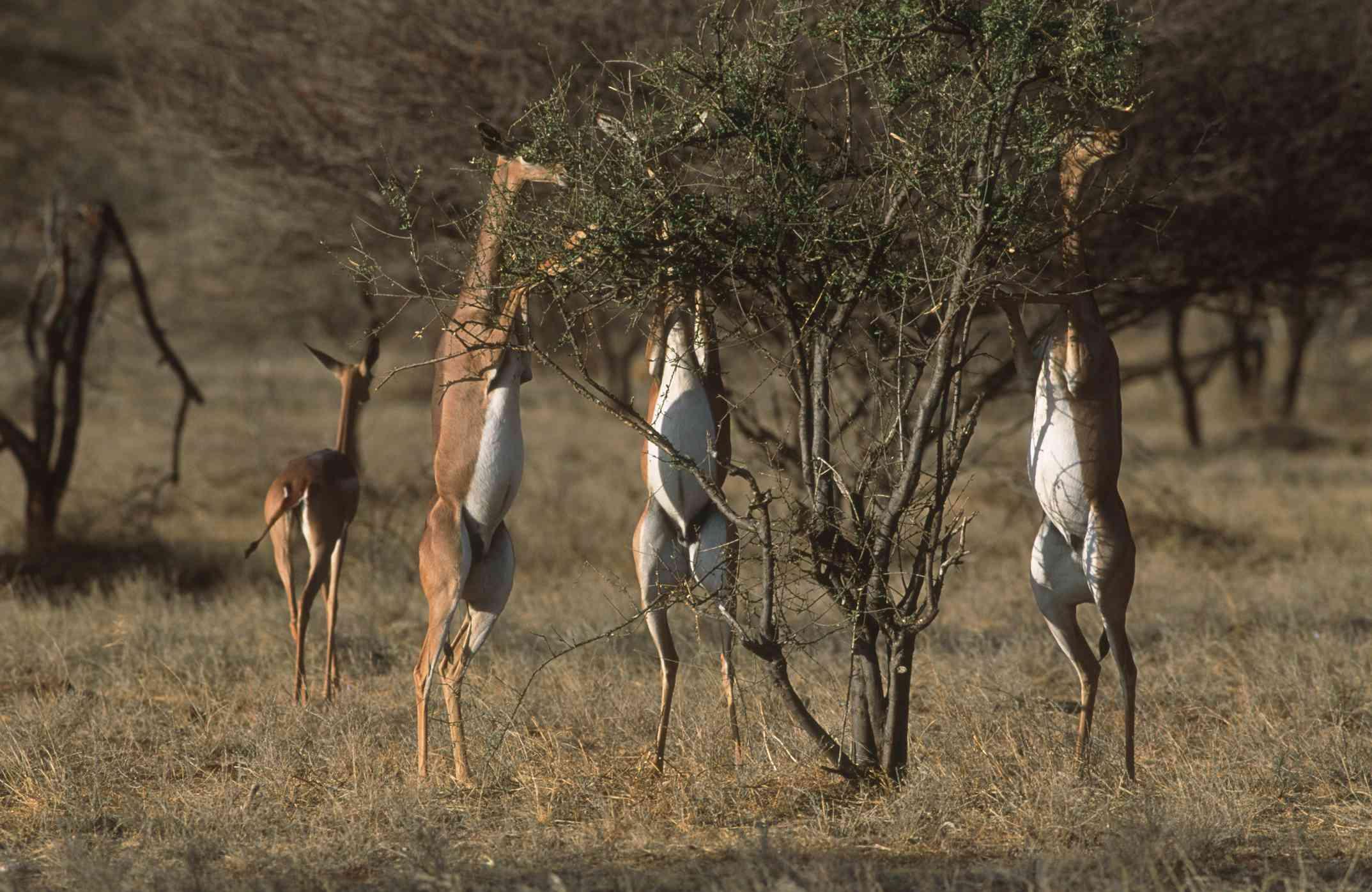 Gerenuks (Litocranius walleri) feeding on bushes in a forest, Samburu National Reserve, Kenya