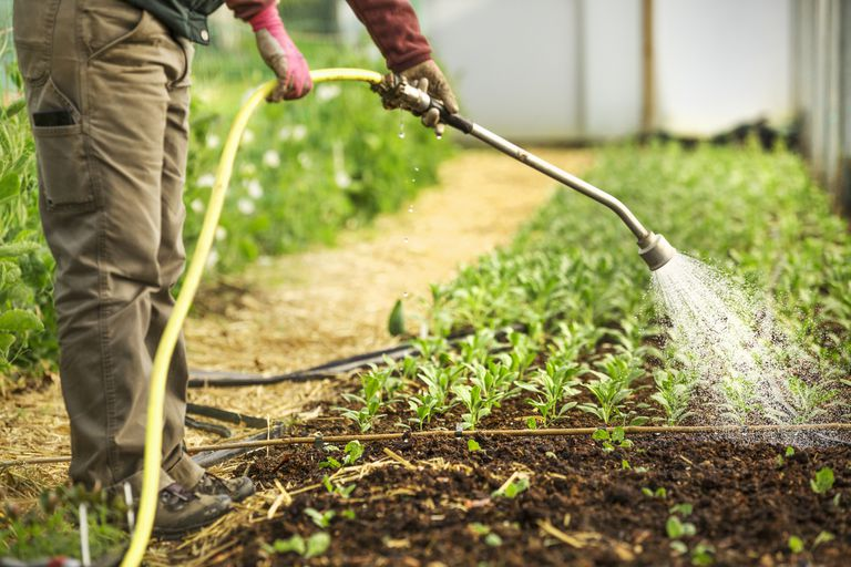 A farmer watering plants in a poly tunnel.