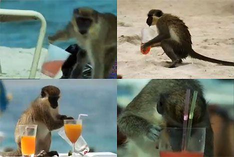 alcoholic monkeys st kitts photo