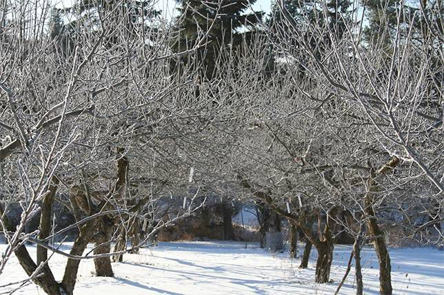 Pruning during the winter months is necessary to ensure good fruit production in the years ahead.