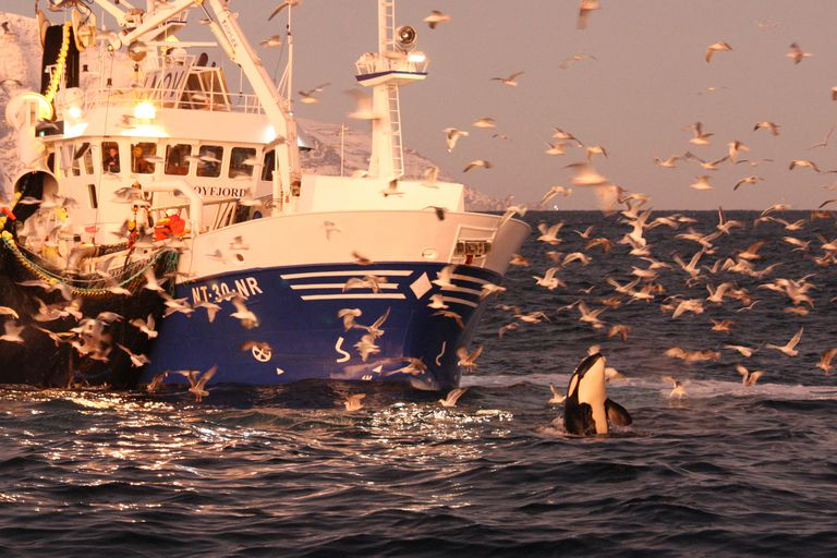 orca in front of white and blue boat surrounded by birds