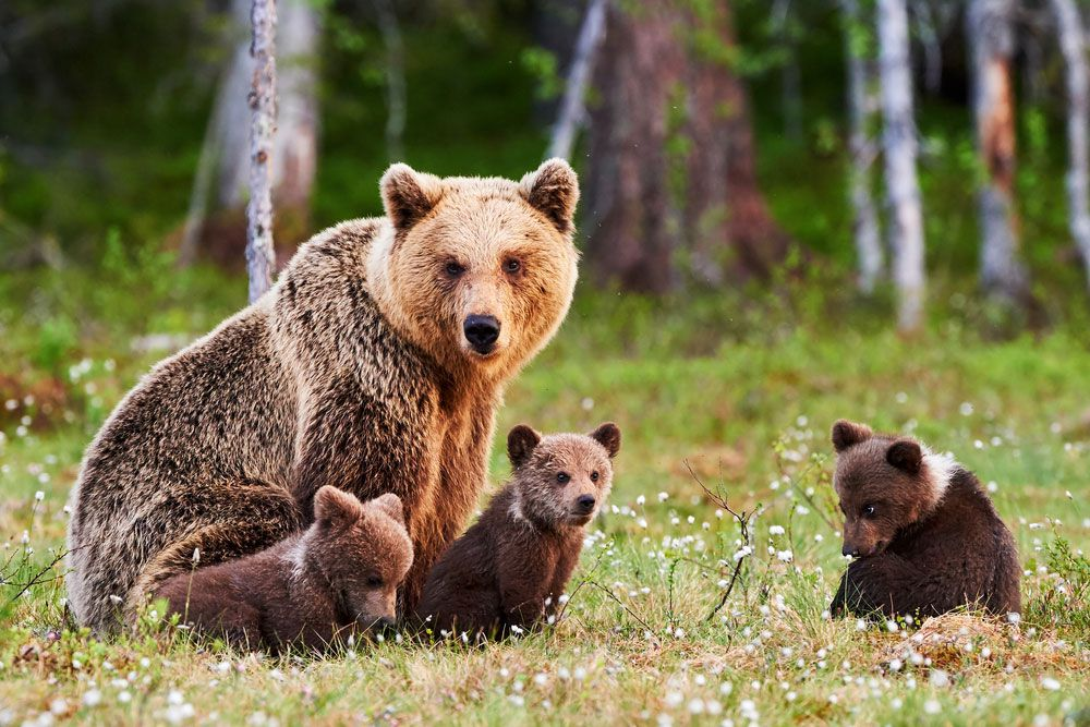 mother bear and cubs in forest