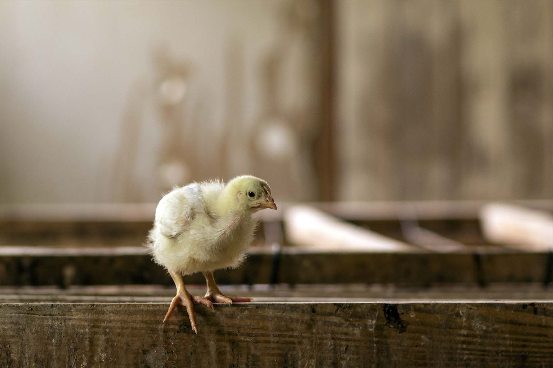 fluffy yellow chick rests feet on wood slab