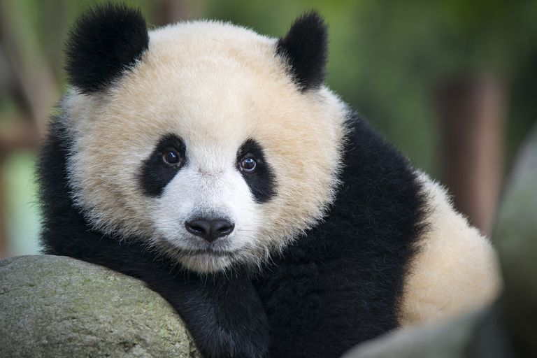 giant panda lounges on a rock