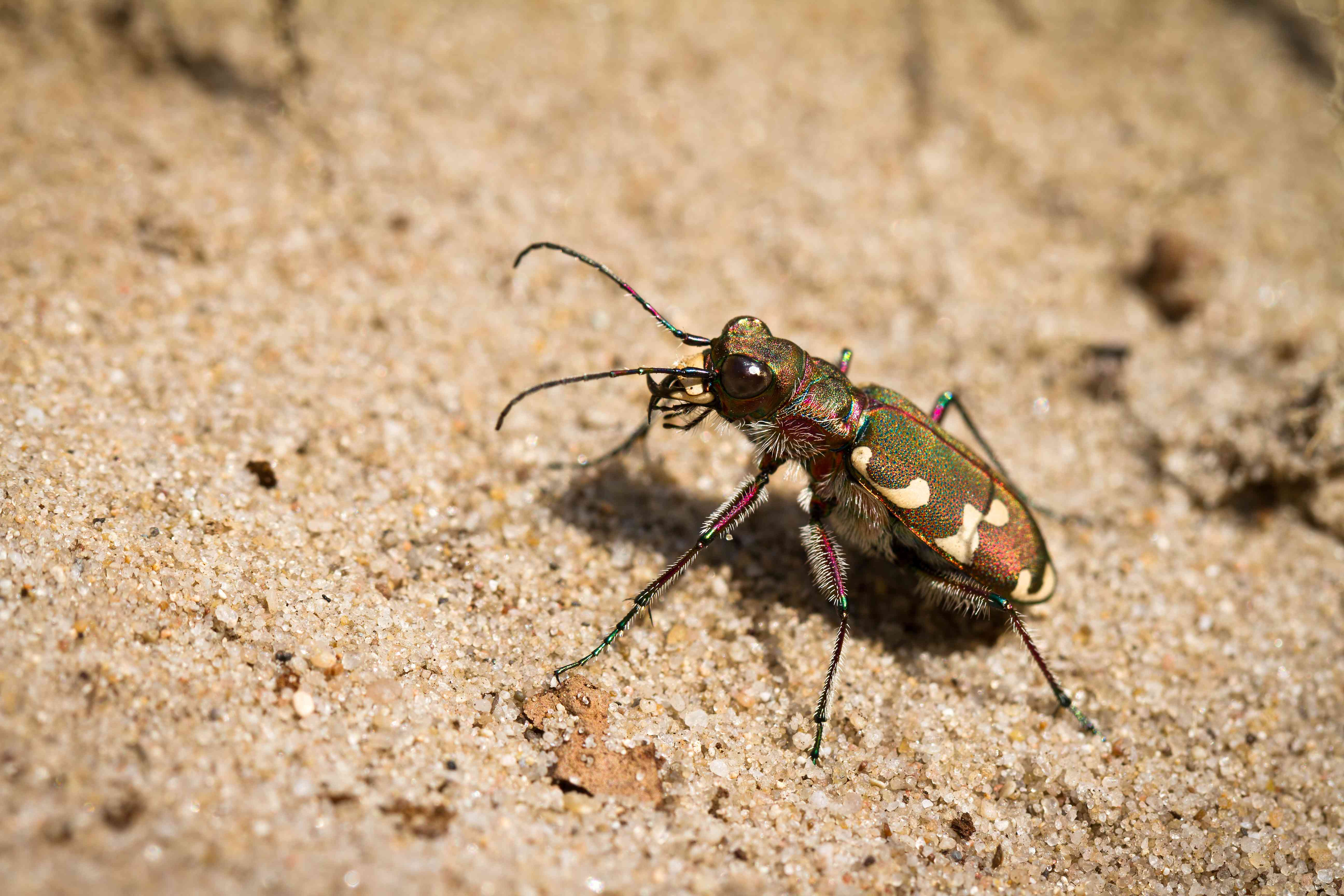 Side view of a tiger beetle on sand