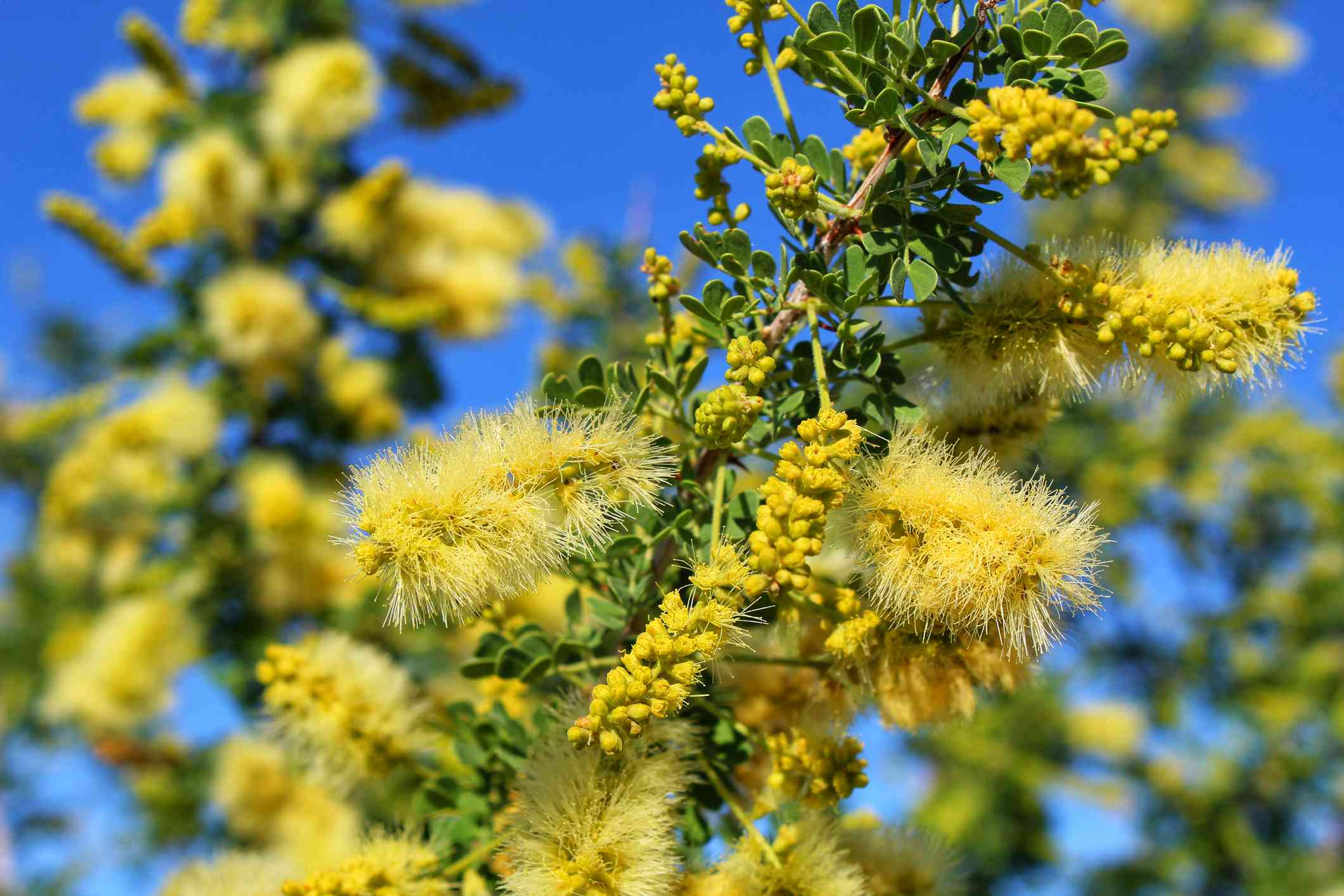 Catclaw Acacia (Senegalia greggii)