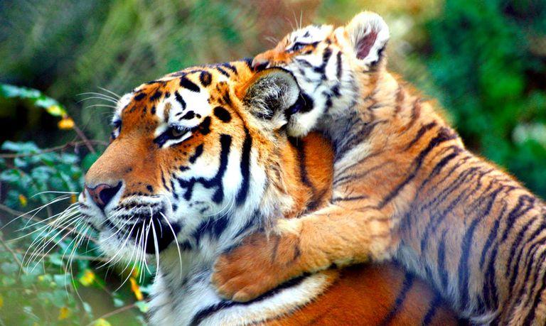tiger adopts cubs photo