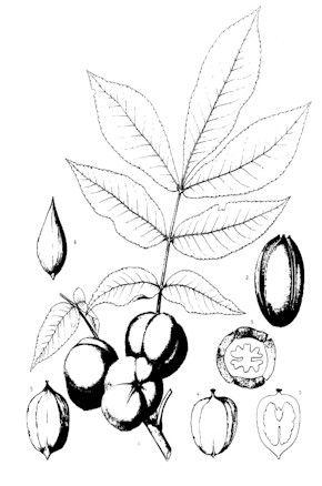 Mockernut Hickory, Carya tomentosa