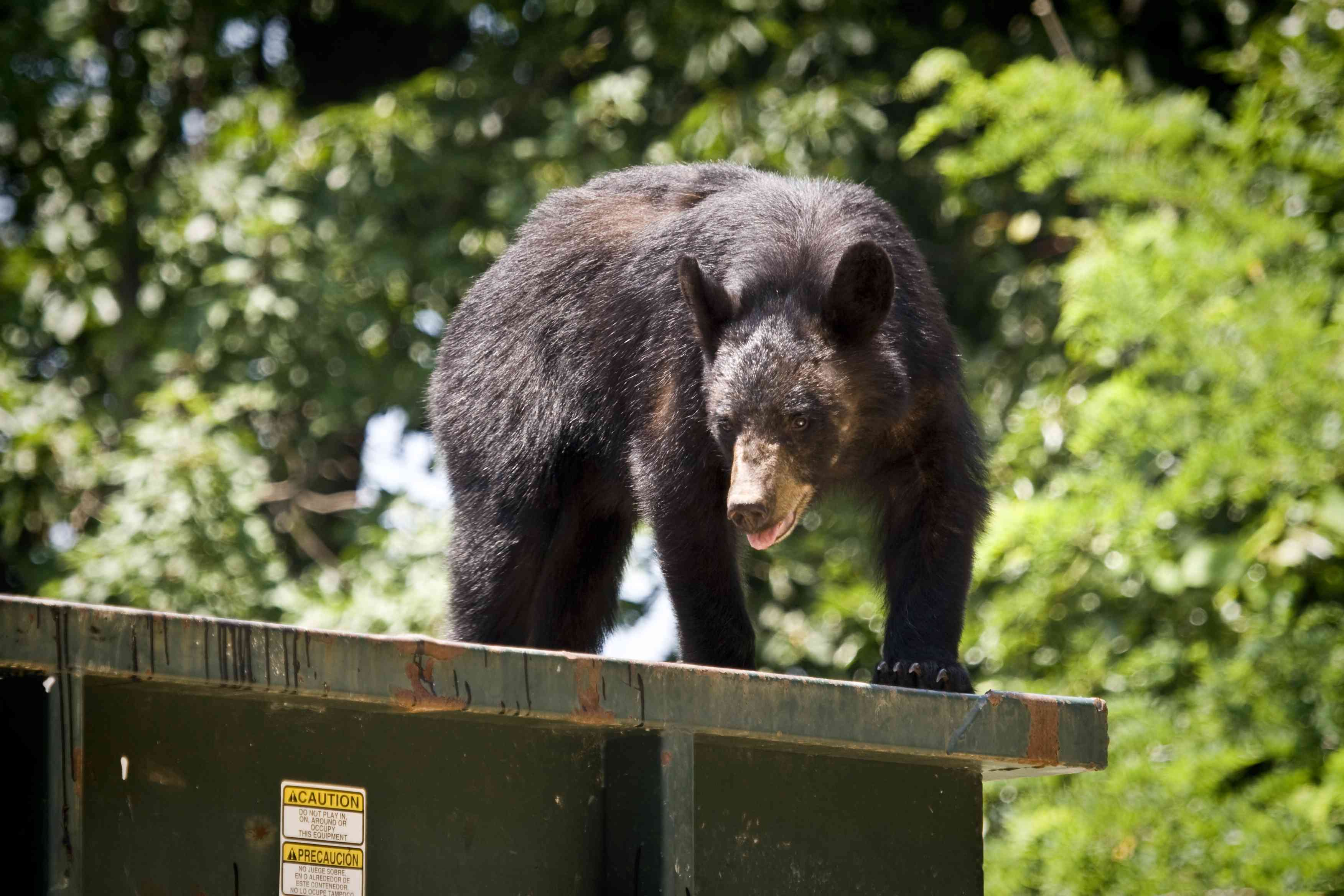 A young black bear scavenging for food on a dumpster