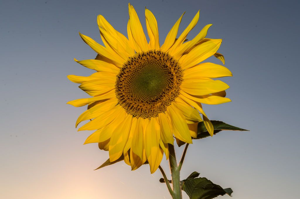 A sunflower basking in the late afternoon sun.