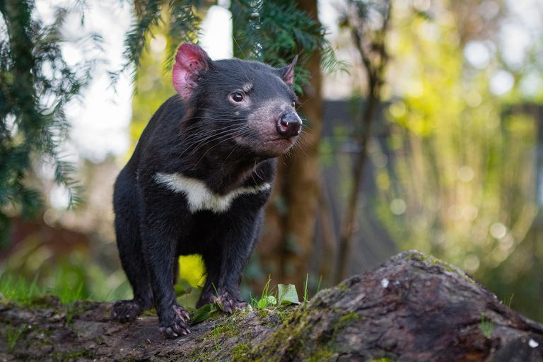 A brown Tasmanian devil with a patch of white on its chest stands on a mossy surface