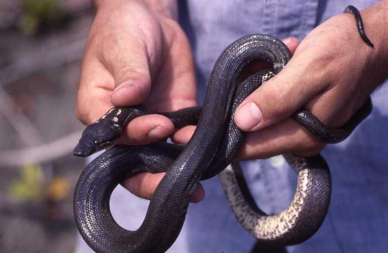 A Round Island boa slithers through someone's hands.