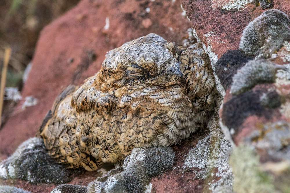 A brown and gray common poorwill sleeping agains a large red rock.