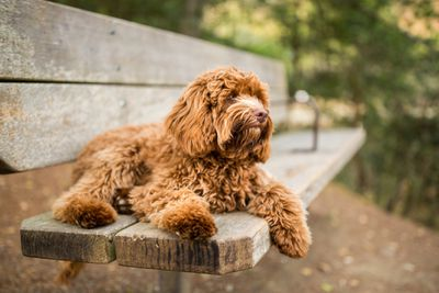 Labradoodle Puppy Relaxing on Park Bench