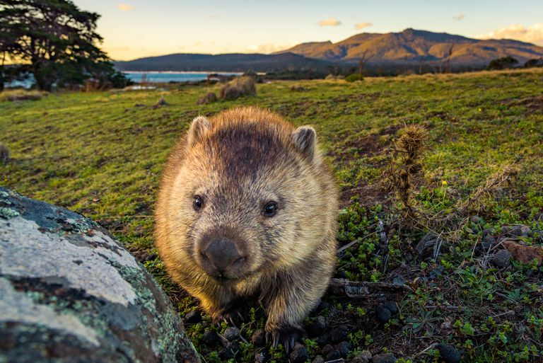 A common wombat walking in grass with mountains and water in the background