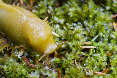 A yellow banana slug crawling over wet moss