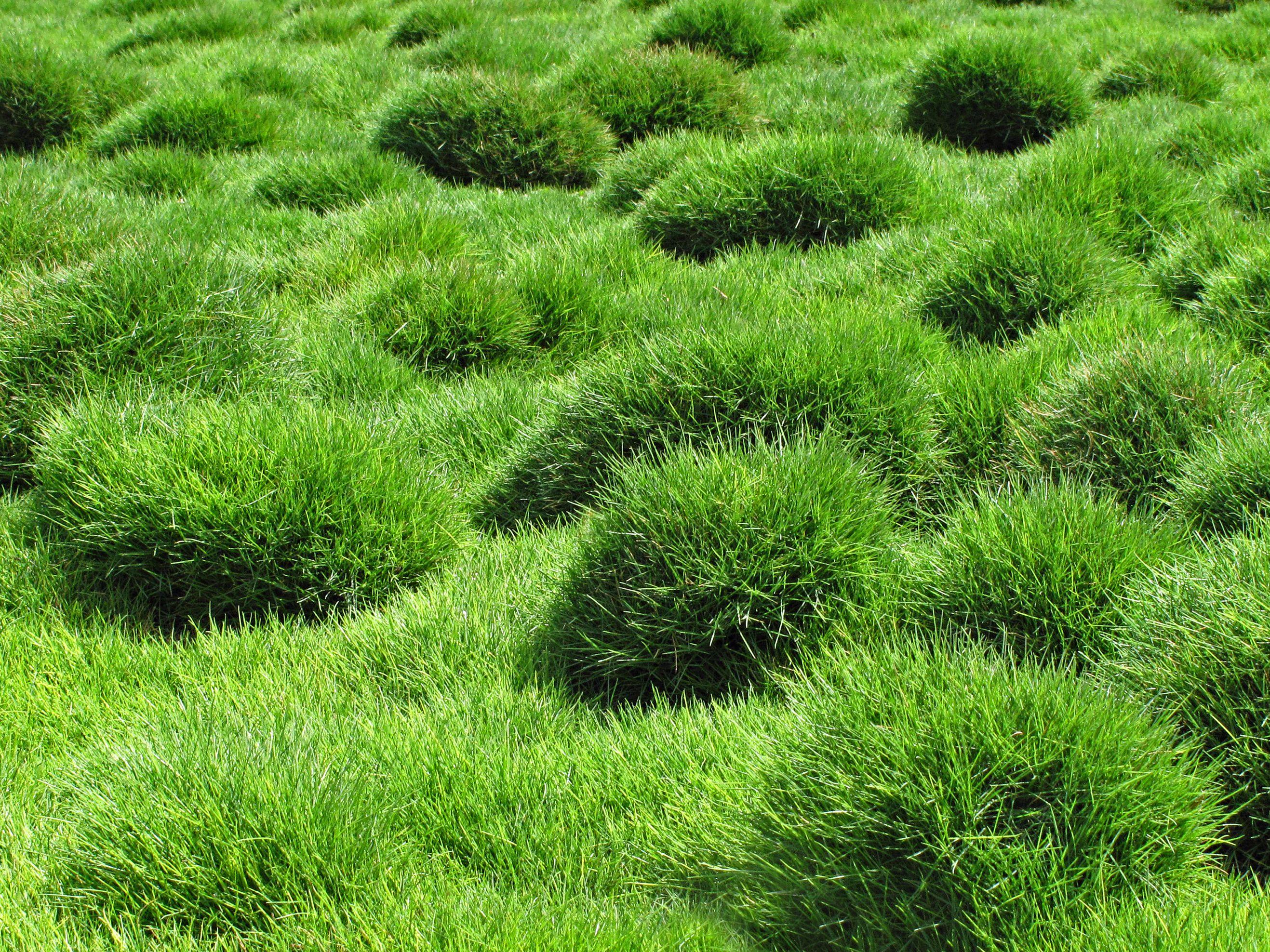 6 Grasses For Low Maintenance Drought Resistant Lawns
