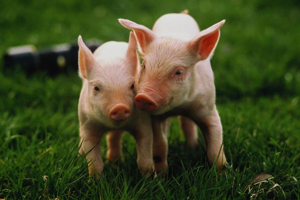 Two Yorkshire piglets