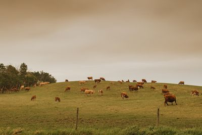 cows grazing in smoky weather