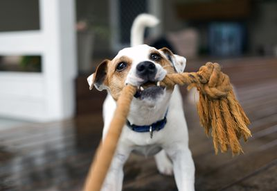 Fox Terrier tugging on a toy rope playing