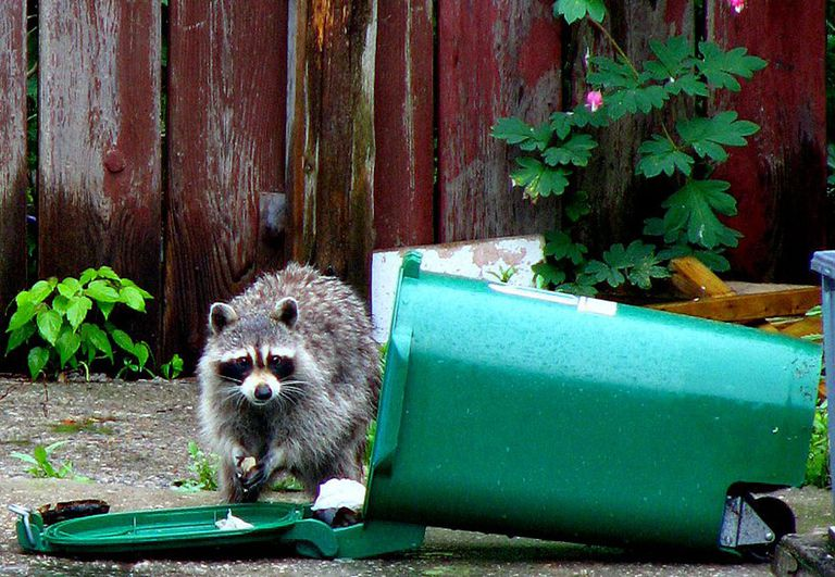 Raccoon next to a trashcan on its side