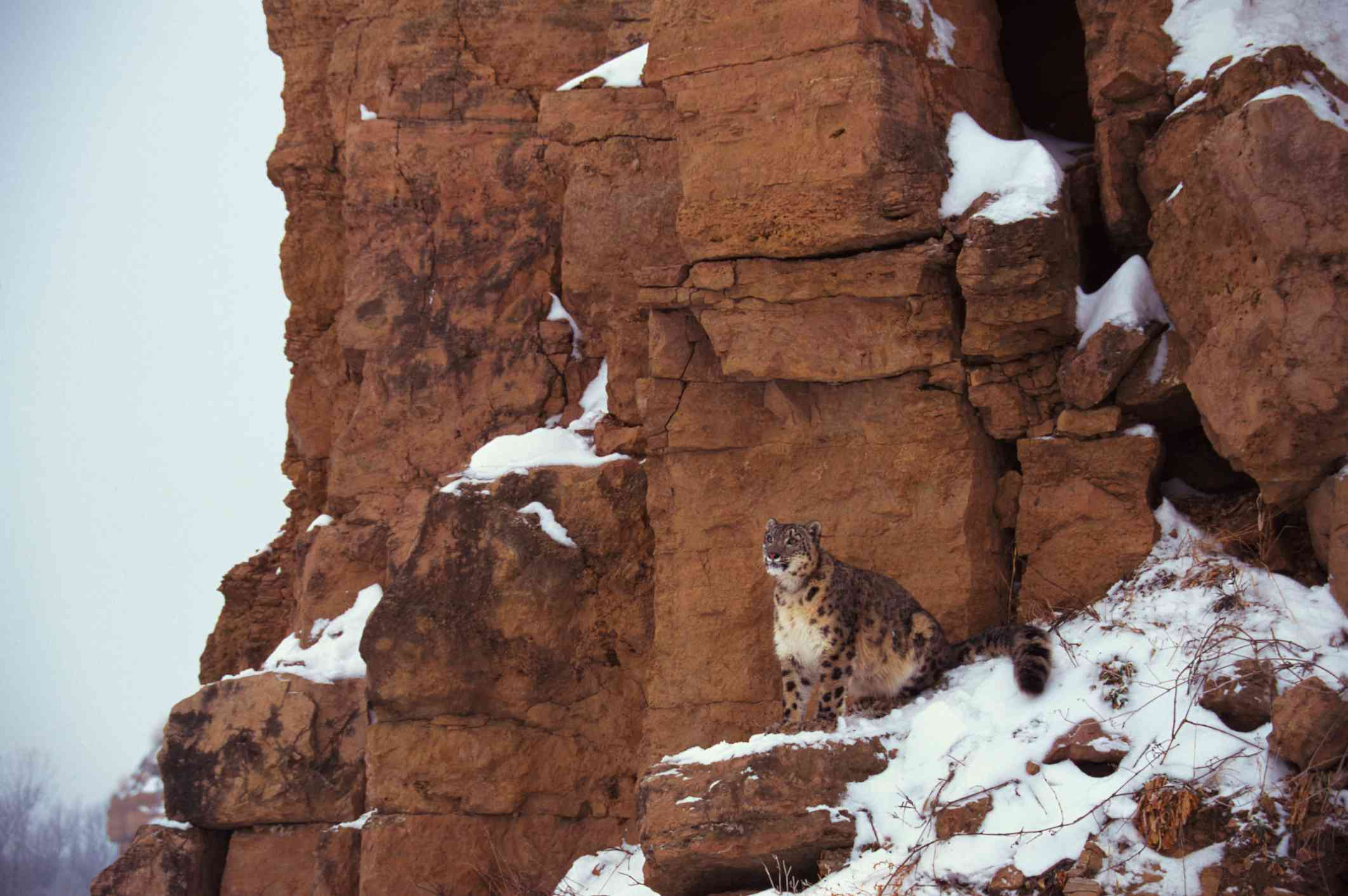 A snow leopard hiding in plain sight on a reddish colored cliff