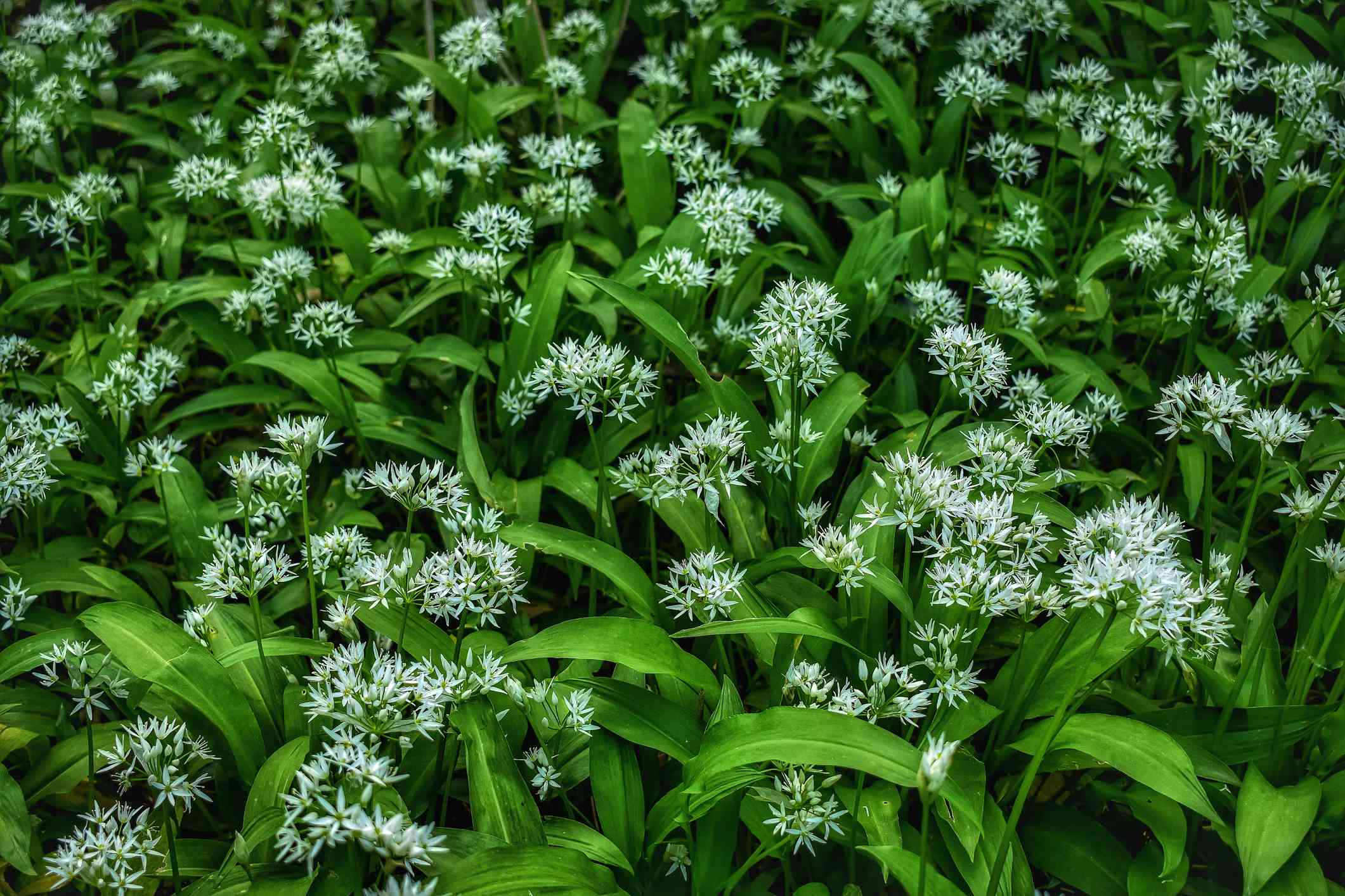 Field of wild garlic with signature white flowers in bloom