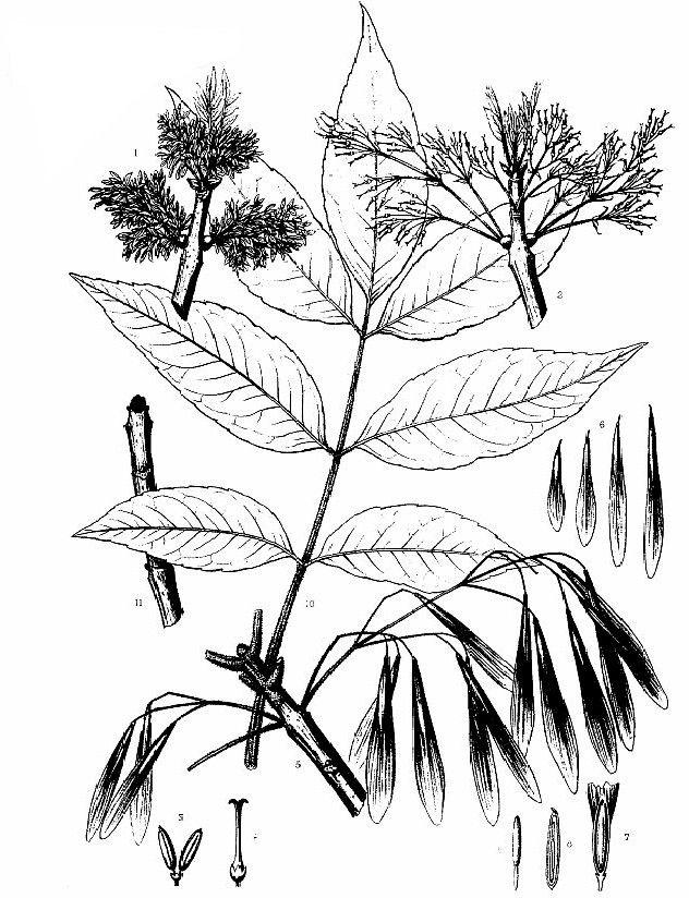 Green Ash, Fraxinus pennsylvanica
