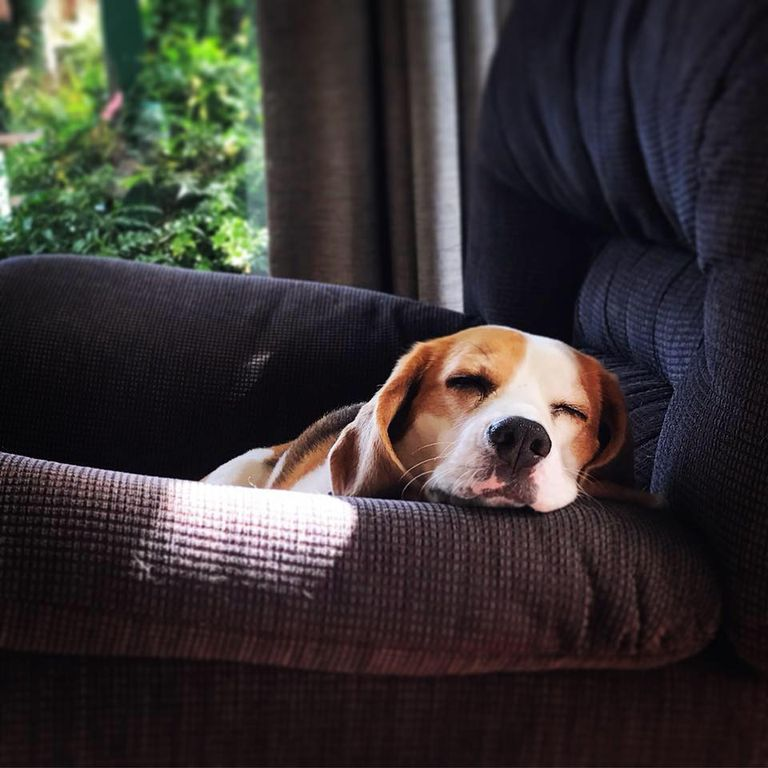 Beagle sleeps in chair