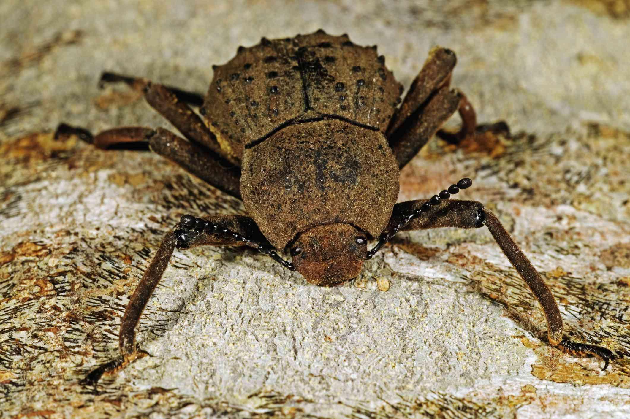 close up of a Frégate Island beetle on a rock