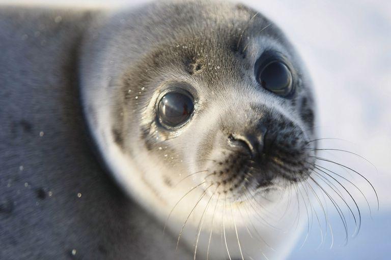 Canada Raises Quota For Controversial Seal Hunt