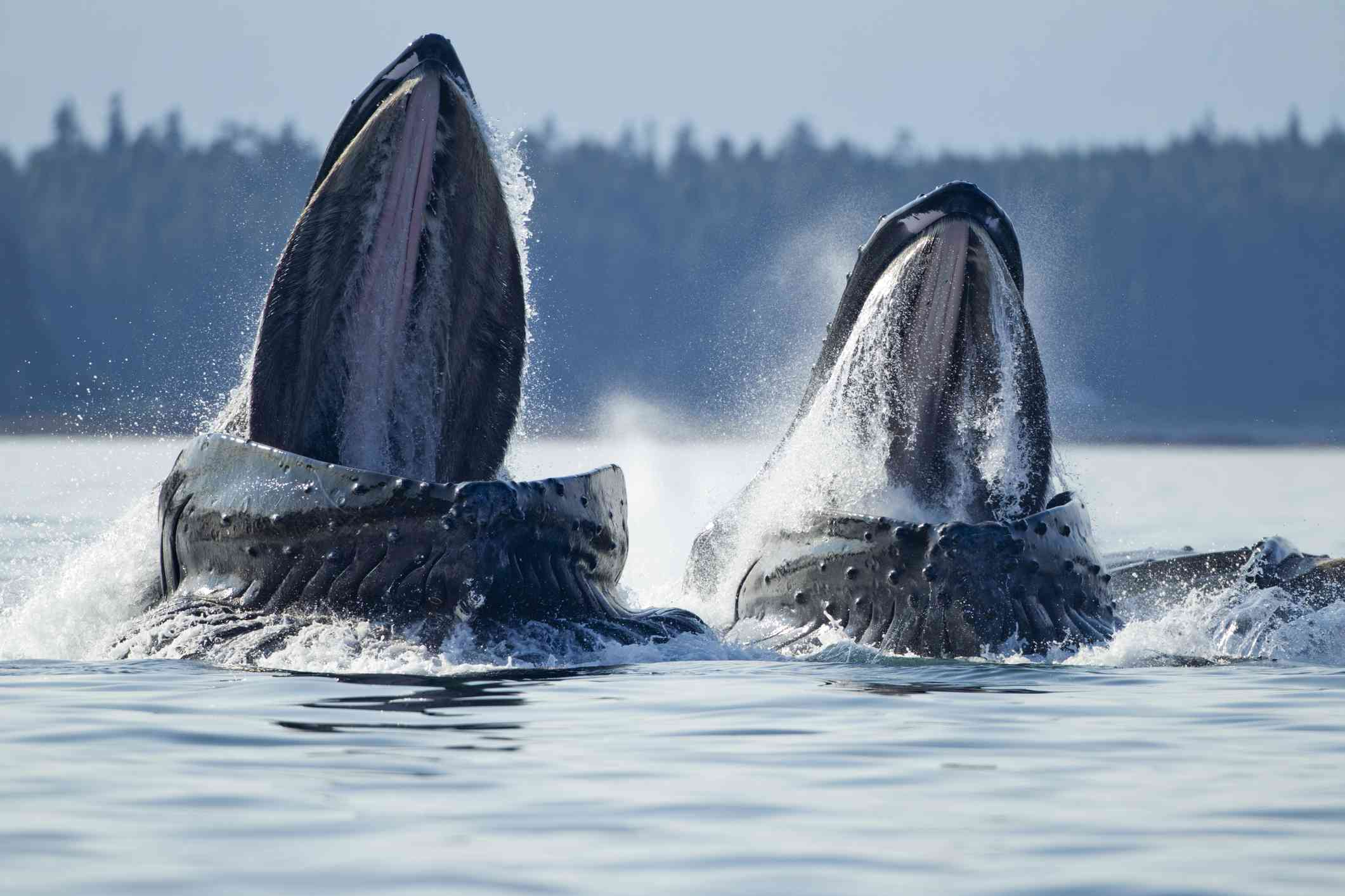 Two humpback whales breach the surface of the water with open mouths