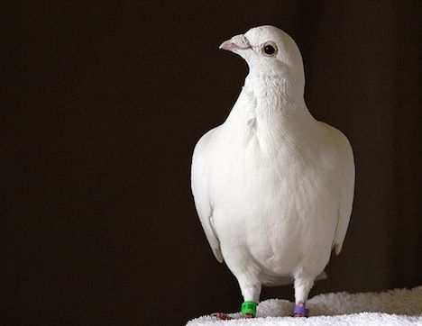 Homing Pigeon Photo