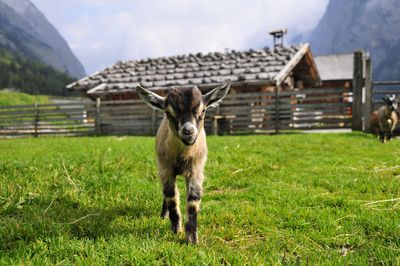 Pygmy goat walking toward camera with barn in background
