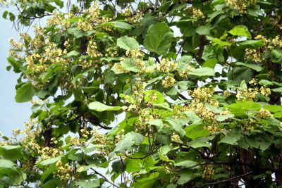 A flowering catalpa tree with yellow blooms in a garden