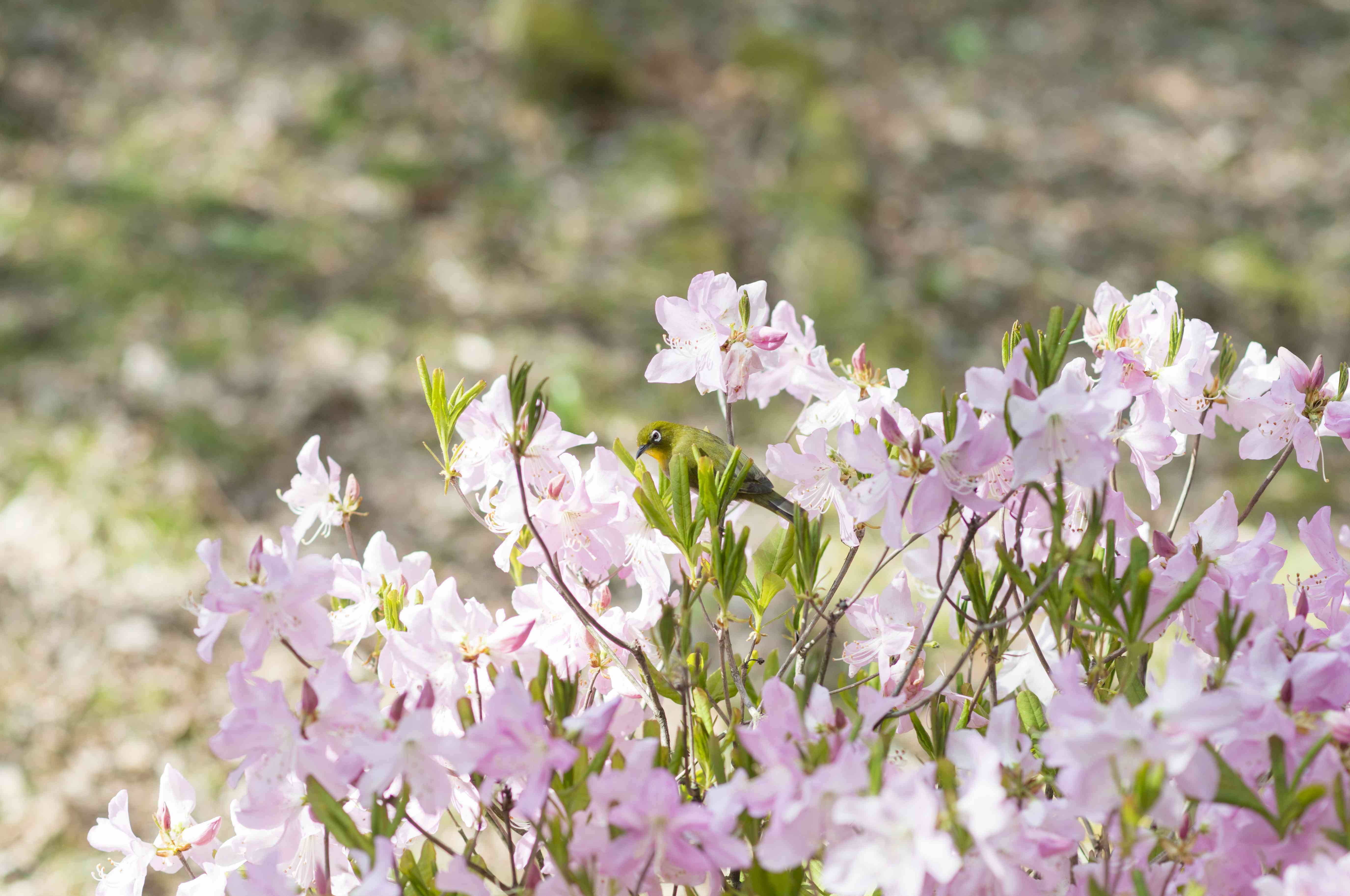 Japanese White-Eye and Azalea Blossoms