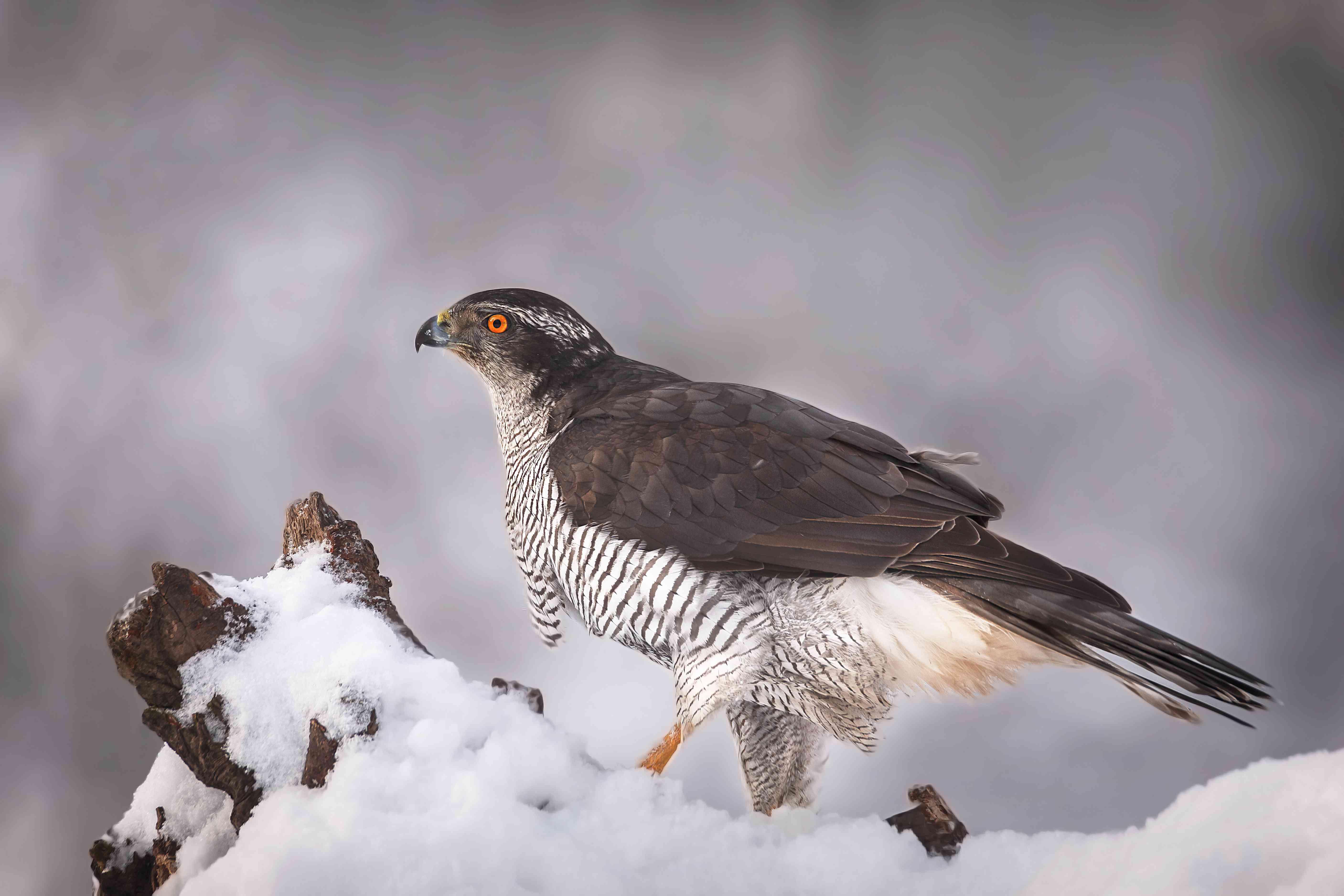 Close-up of northern goshawk of prey perching on snow,Poland