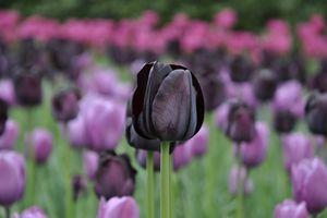 Close-Up Of violet Tulip Flower
