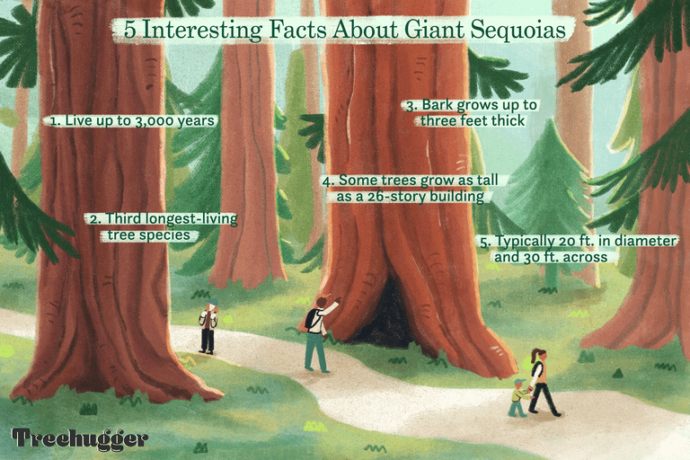 color illo of small people walking among giant sequoias with 5 interesting facts