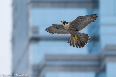 Peregrine falcon outside Philadelphia's city hall.